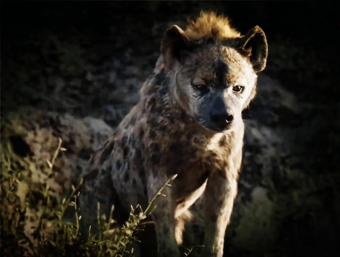 原创 小狮子被非洲野牛踩伤,途中遭母狮甩掉,却被鬣狗收养