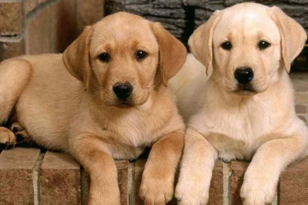 狗狗肚子咕噜咕噜叫,不仅仅是饿了,还有可能是肠胃有问题