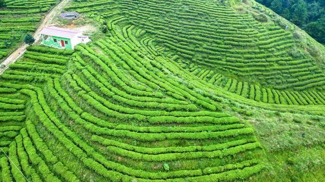 原创 贵州藏了个超小众的千亩茶园,十分壮观,赶紧来享受慢时光吧!