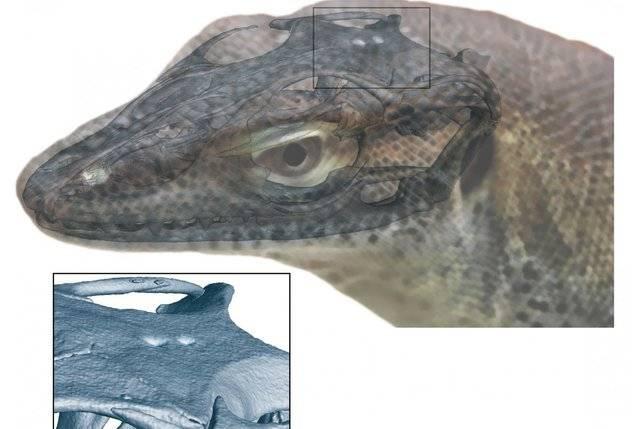 原创 人类的祖先最早不止拥有两只眼睛?新发现的四眼巨蜥蜴提供了证据