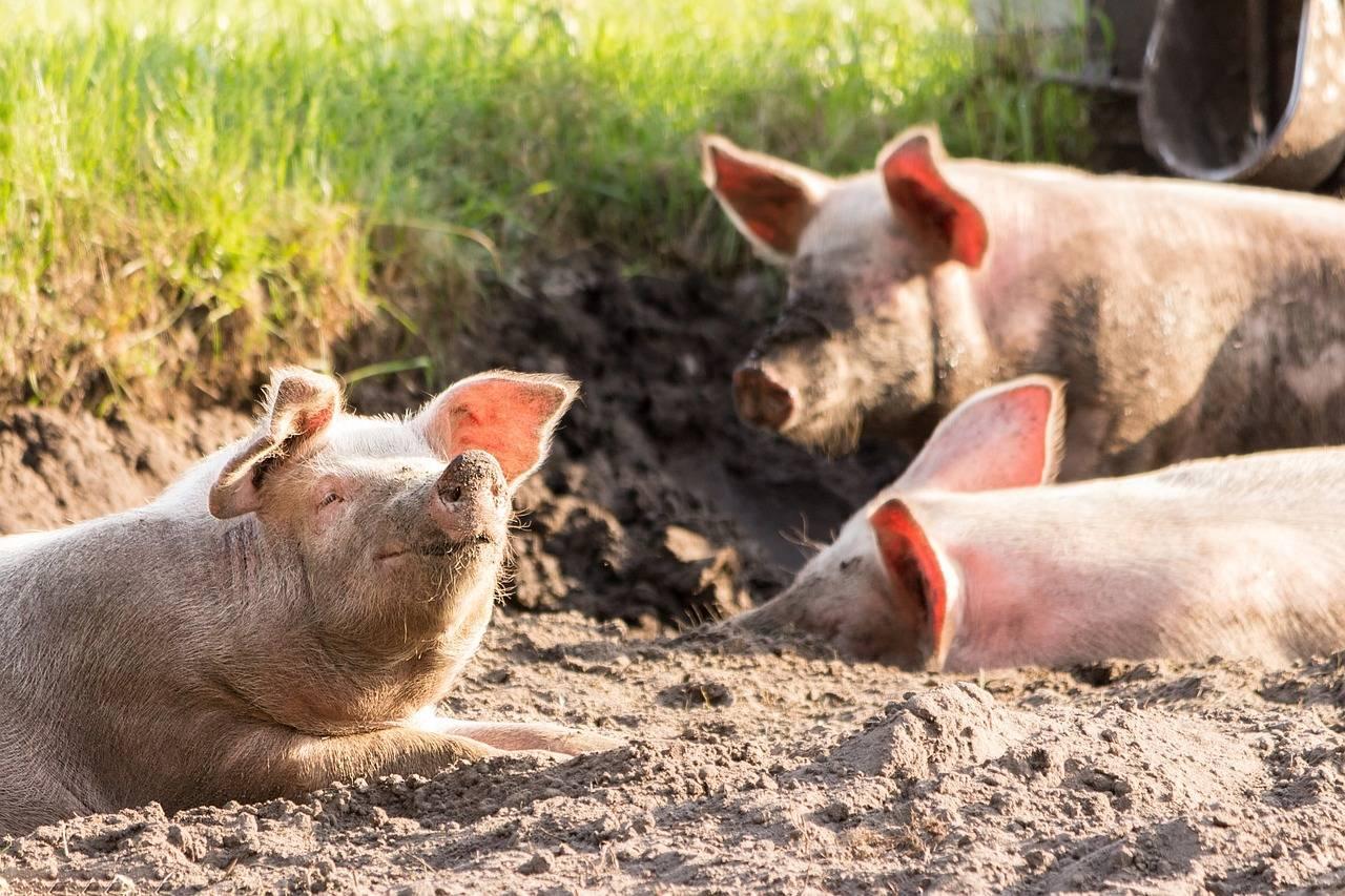 全国猪肉均价每公斤降13元,我们期盼的猪肉自由真要来了吗?_庄和闲