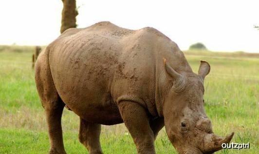 原创 都是非洲草原上的大吨位动物,河马VS犀牛,谁更厉害?