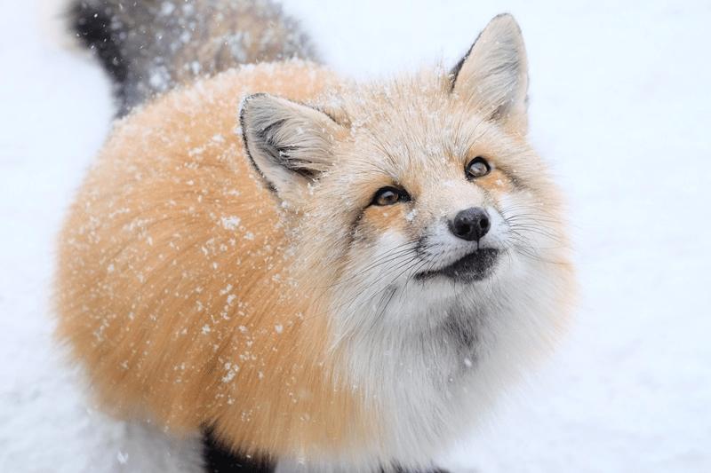 日本最特殊的景区,随处都是狐狸还不怕人,狐狸靠讨好游客讨生活