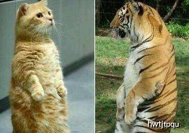 原创 外洋有人饲养老虎,并将其当做宠物,小老虎萌的和猫一样
