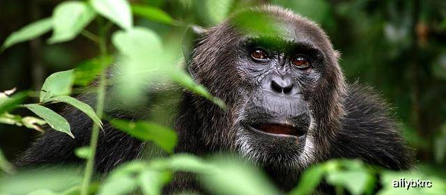 原创 壮大的人科动物,放大版黑猩猩,刚果森林神秘猿类被称狮子杀手!