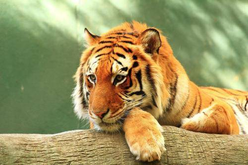 原创 猫科动物用手捏着后颈就不会动,那用手捏着成年老虎后颈,老虎也会束手就擒?