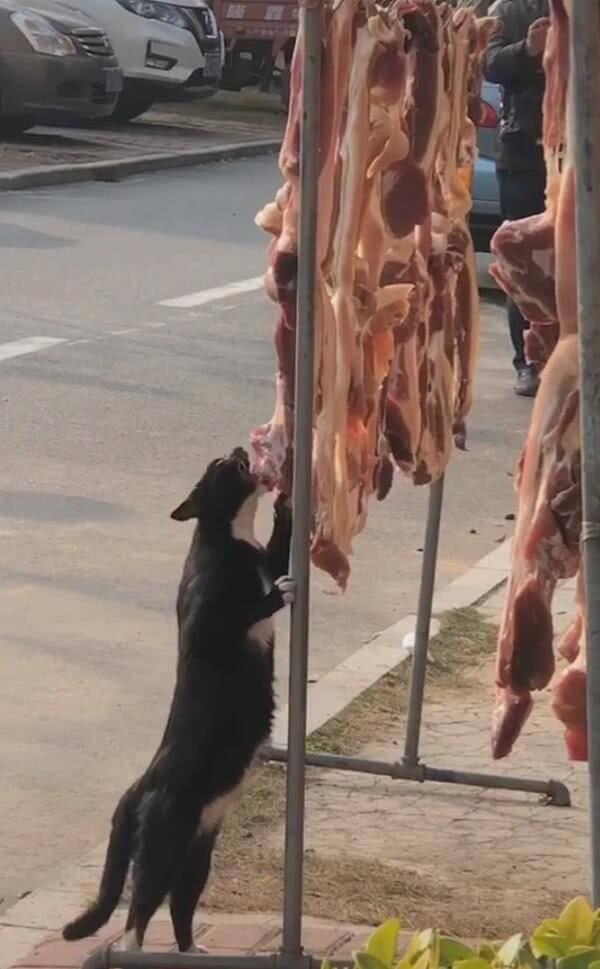 原创 猫咪偷吃肉却无人阻止,人人都停下来摄影:这么名正言顺的吗?