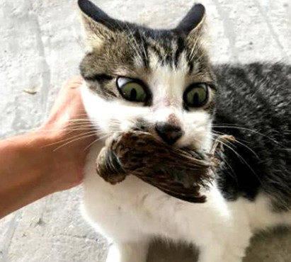 原创 老远见猫咪叼猎物回来,主人原本很开心,等走近一看却顿时气饱了
