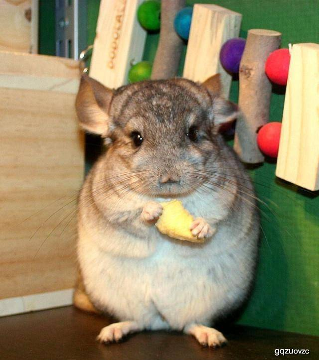 原创 仓鼠可以吃肉吗?喂食它们肉的时刻,需要注重什么事项呢?