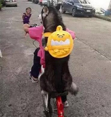 原创 小主人骑车载二哈玩耍,这货一秒笑成个烂柿花,汪:太好玩了吧