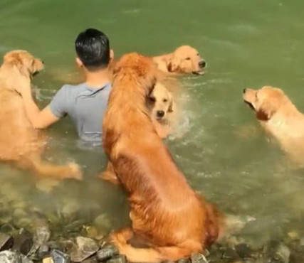原创 主人在河中心游泳,5只金毛以为有危险,一举让主人设计瞬间泡汤
