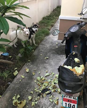 原创 主人回家见二哈躲在树叶后,总觉得有事发生,看到电瓶车气炸了