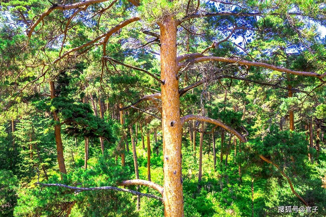 长白山北坡独有旅游奇观,一般游人都没享受过其怀抱,亭亭玉立它叫美人松