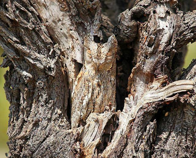零度摄影:伪装专家猫头鹰,你能在所有图片中找到猫头鹰吗?