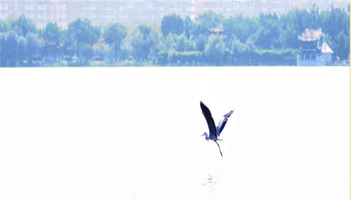 """古诗词里""""黄鹄""""到底是只什么鸟?"""