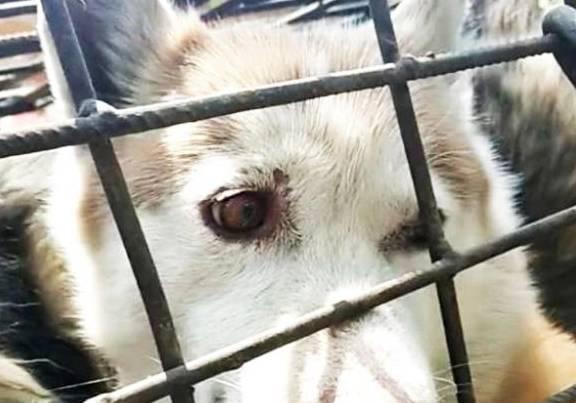 爱狗人士拦住一辆塞满50条狗的车。狗肉