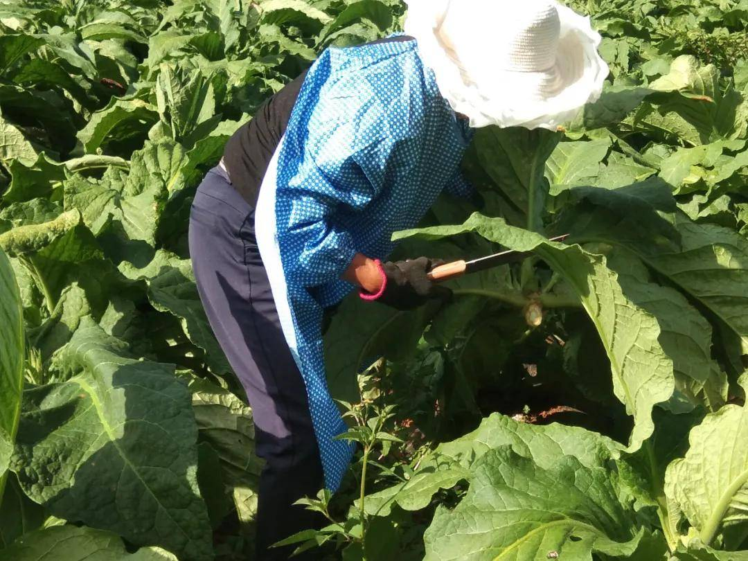 威宁县麻乍镇双包塘社区旱烟种植大户张明柱和他的50亩旱烟