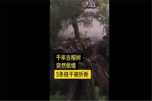广东1100多岁古榕树倒塌!具体是怎么回事?附详细原因