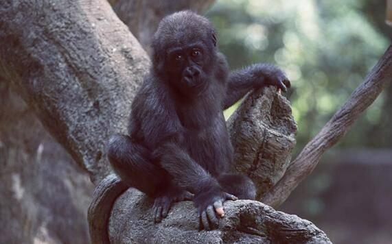 黑猩猩有一种基因突变,并进化出