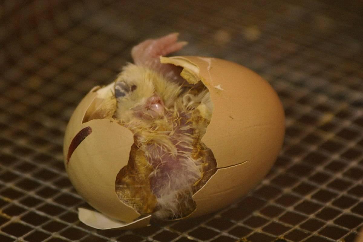 种蛋如何提高孵化繁殖率
