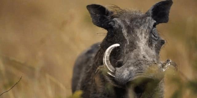 美国野猪泛滥成灾,造成了巨大损失,为何美国人不吃野猪呢?