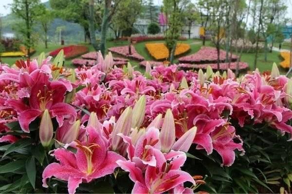 这座花园有点好看!百合、向日葵、百日菊、粉