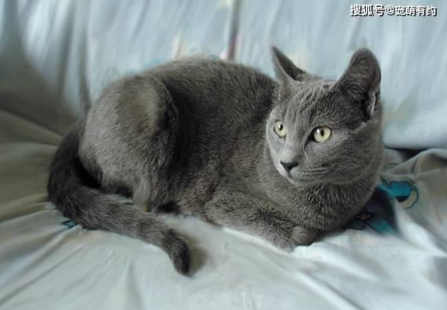 世界上有三只大蓝猫 除了英国和俄罗斯蓝