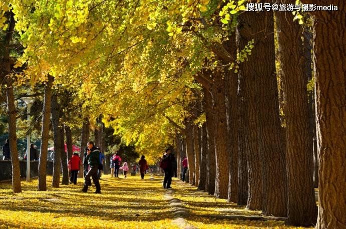 原创             北京第一银杏大道,无数游客前来寻求邂逅,现已成著名打卡胜地!