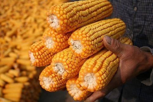玉米价格最新行情走势:玉米价格每吨涨千元