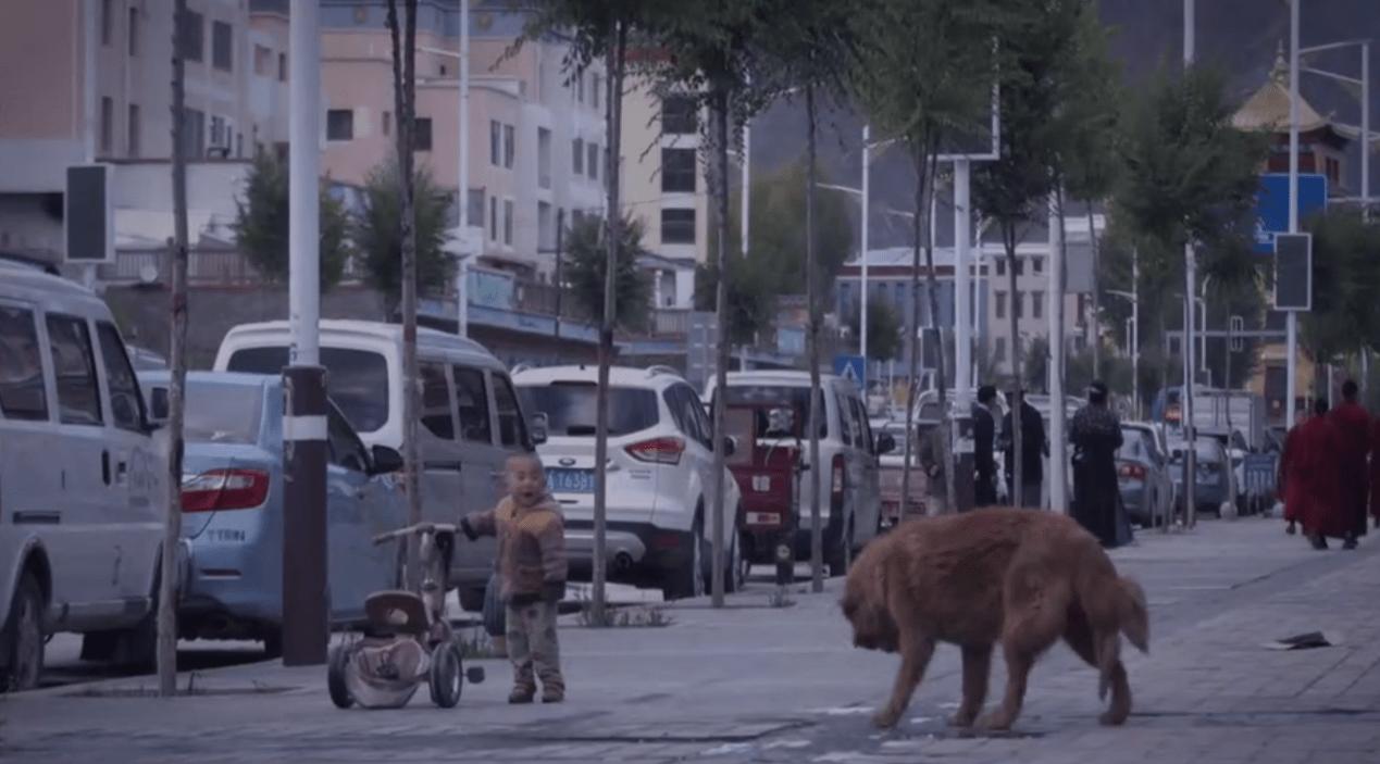 恒达官网数万藏獒流浪在藏区:攻击儿童、围攻雪豹 九成当地人反对捕杀