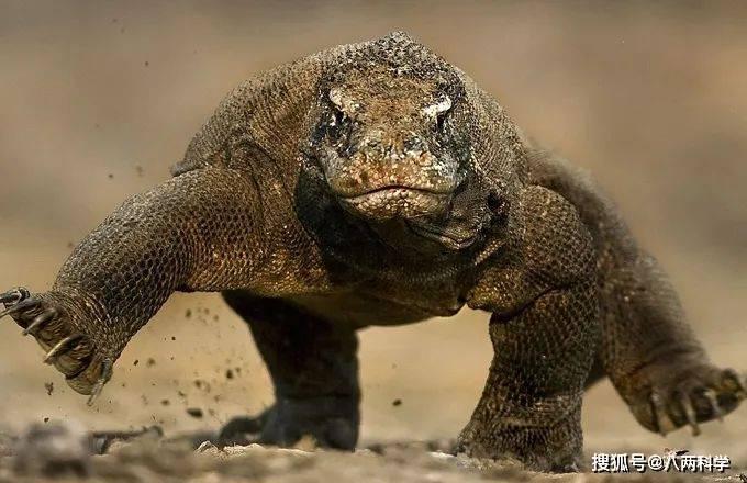 科莫多巨蜥的唾液有毒?靠毒液捕猎?科莫多巨蜥的迷与思!(图4)