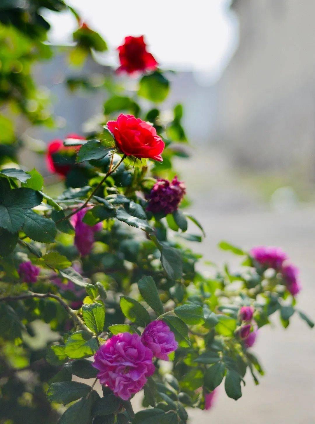 与保加利亚比娇艳!全济南种上玫瑰花,仅是一抹香气就能美上热搜……