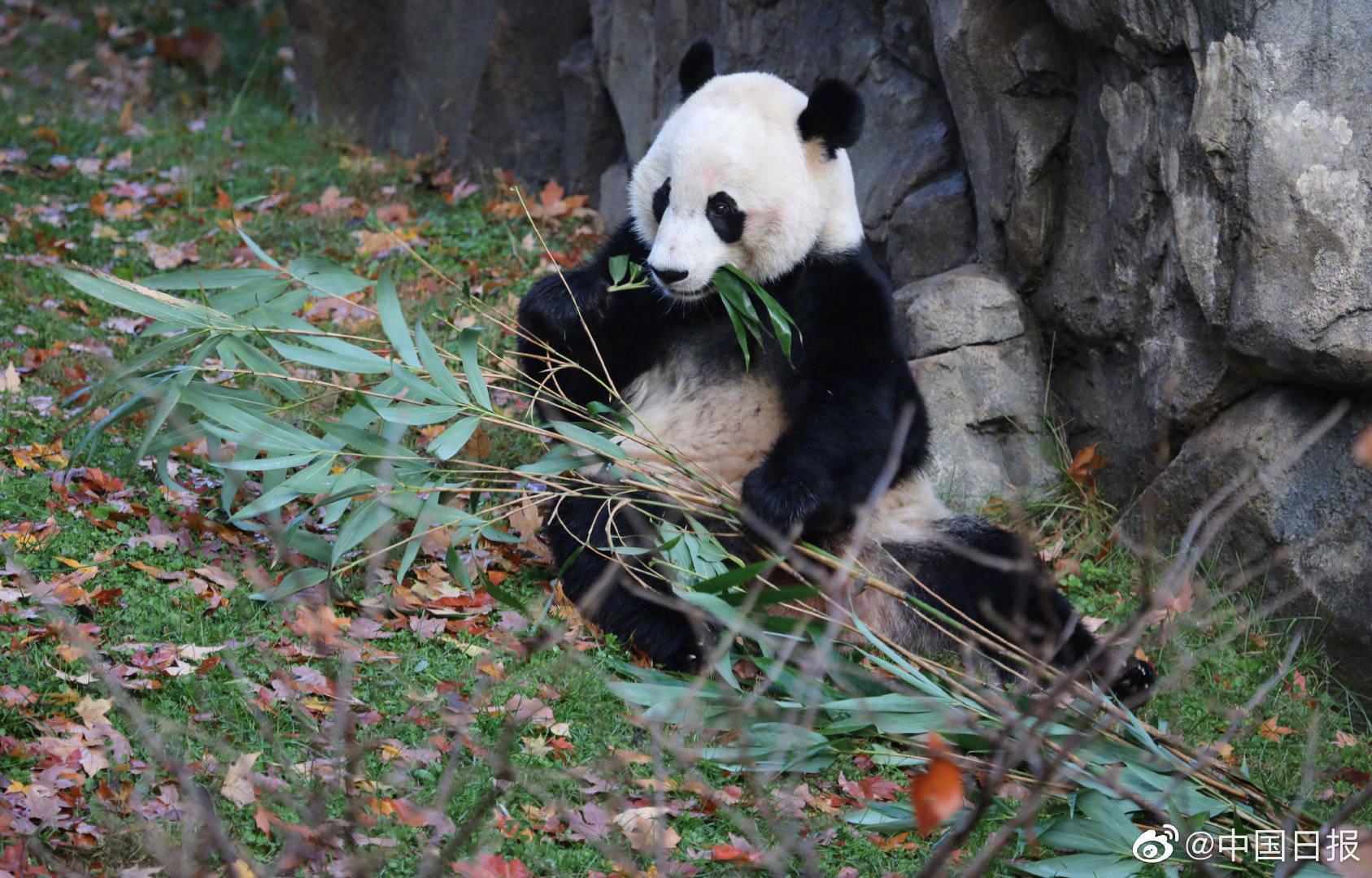 大熊猫图片可爱图片