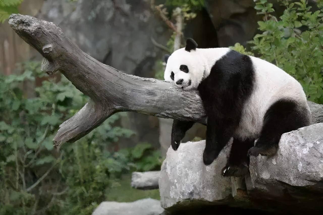 可爱熊猫卡通