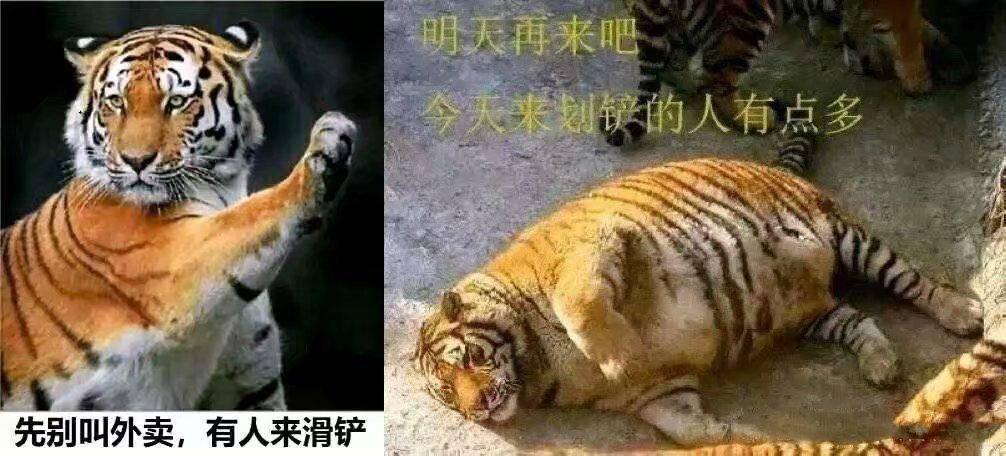 原捏老虎脖子,他会像猫一样乖吗?