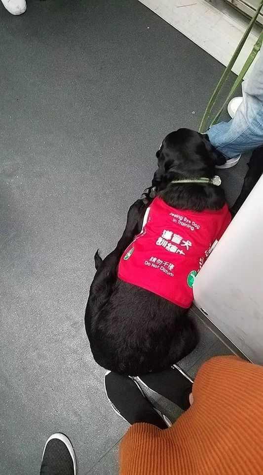 导盲犬一屁股坐在乘客脚上,乘客暖心的说:我不舍得把脚挪开