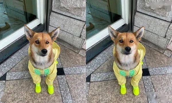 出门忘带雨衣,铲屎官巧手自制,狗子:有点丑!