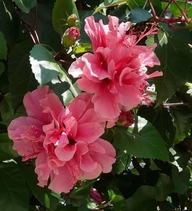 丁香   五月_300种·常见园林花卉植物开花月份对照一览表_木犀