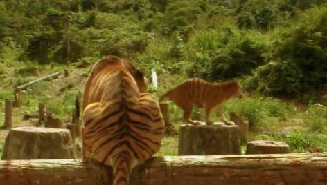与老虎同床,照样野生的,有种!