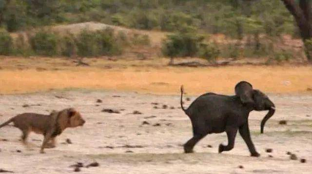 独狮子捕杀小象,在小象倒地的一瞬间,过来的不速之客让人唏嘘!