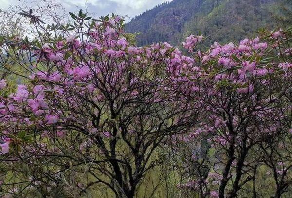 重新发现被认为灭绝的枯鲁杜鹃 多枝条可用插穗