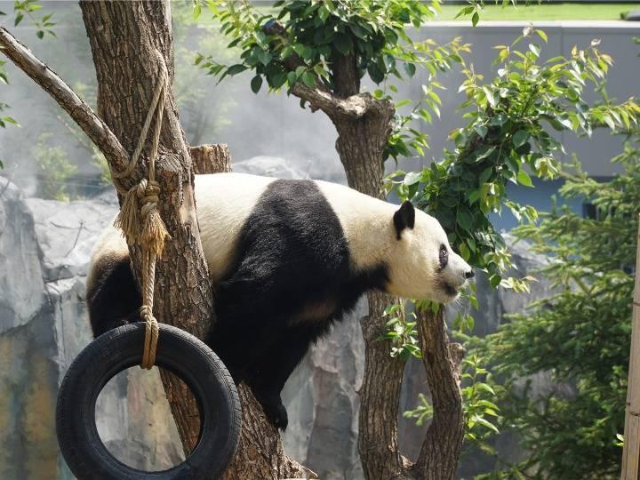 大熊猫青藏高原生活记
