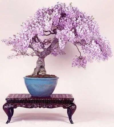 紫藤盆景制作图片