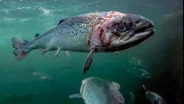 粪水池里的三文鱼,怎么成了餐桌上的美味?