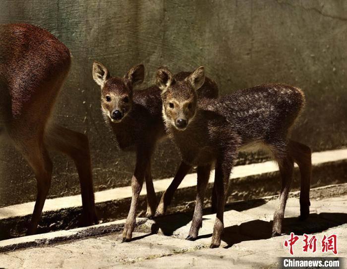 中国首次成功繁育河麂高丽亚种:诞生两只河麂宝宝