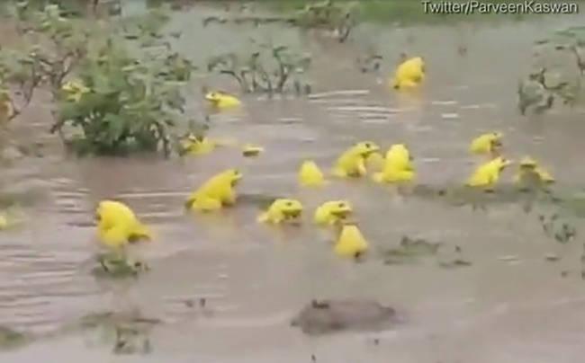 印度一积水田地里现大群亮黄色青蛙为求偶变色