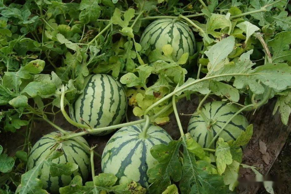 冷知识!西瓜到中国的历史不到900年?吃瓜群众很惊讶