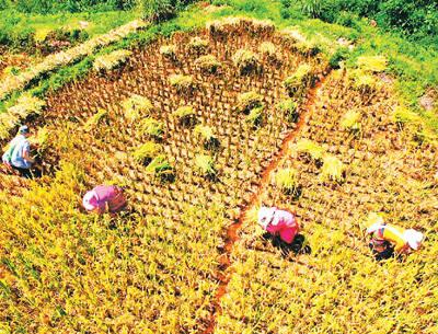 普洱景迈山(下) 景迈山惠民茶厂