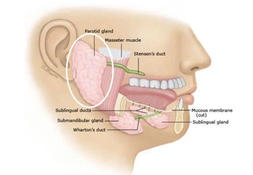 性 腺 化膿 炎 下 耳 唾液腺炎(耳下腺炎や顎下腺炎)の原因と症状、使用する漢方薬