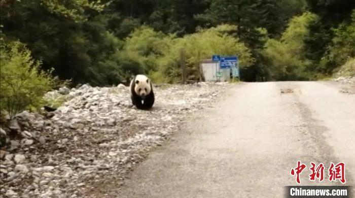 四川平武王朗保护区近距离拍到野生大熊猫